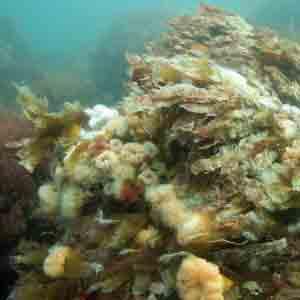Tång på nio meters djup på det nya revet. Foto: Karsten Dahl